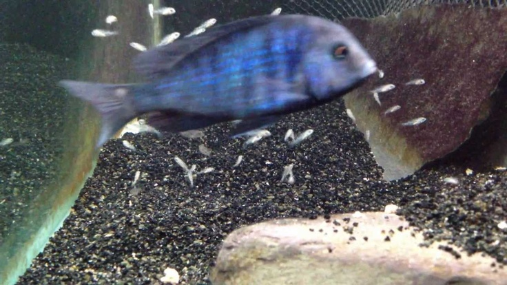 African cichlid fish releasing fry from mouth -- they separated her off in the tank...not a bad idea