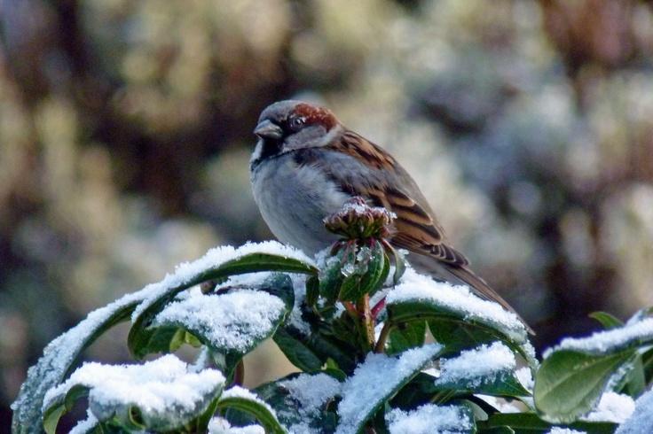 In de winter breken voor de vogels  zware tijden aan. Meer weten over de Nederlandse huismus? Klik op de pin!