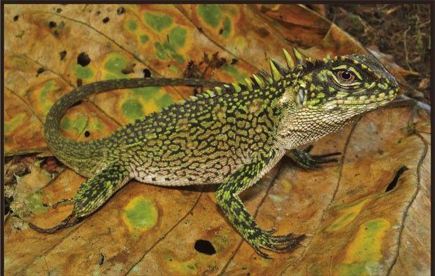 Exemplar da espécie Enyalioides binzayedi, um dos lagartos encontrados na Amazônia peruana (Foto: Reprodução/Zookeys)  http://g1.globo.com/natureza/noticia/2013/03/expedicao-amazonia-peruana-encontra-novas-especies-de-lagartos.html