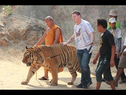 Tiger Temple (Thailand) - youtube.com/maniapodrozowania