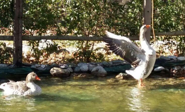 Ducks in the lake Greece Achaia