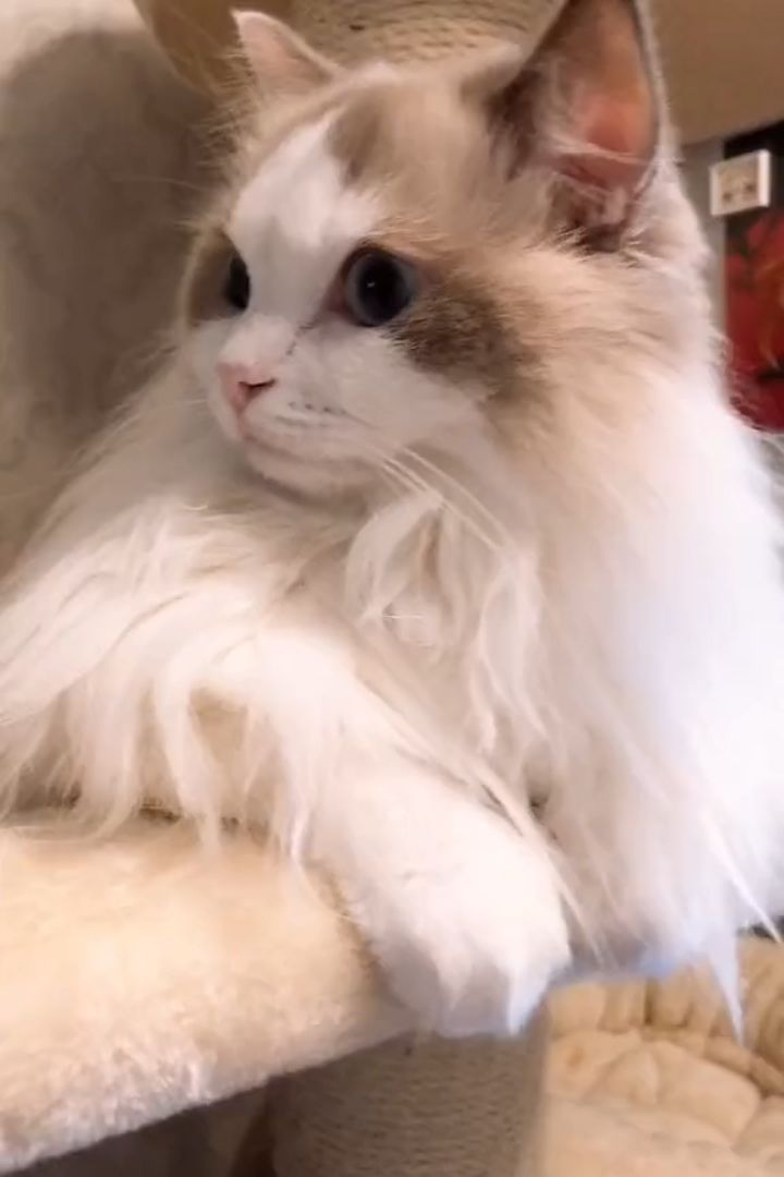 Top 25 Awesome Ragdoll Cat Names Ideas Inspiration Find The
