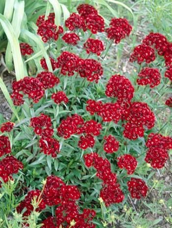 Heart Attack Sweet William for sale buy Dianthus barbatus 'Heart Attack'