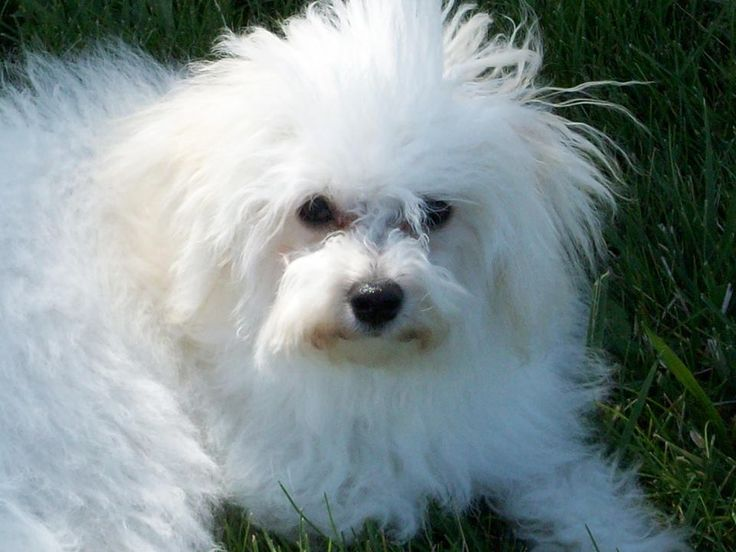 The Bolognese is a small breed of dog of the Bichon type, originating in Italy. The name refers to the northern Italian city of Bologna. It is part of the Toy dog group and is considered a companion dog.