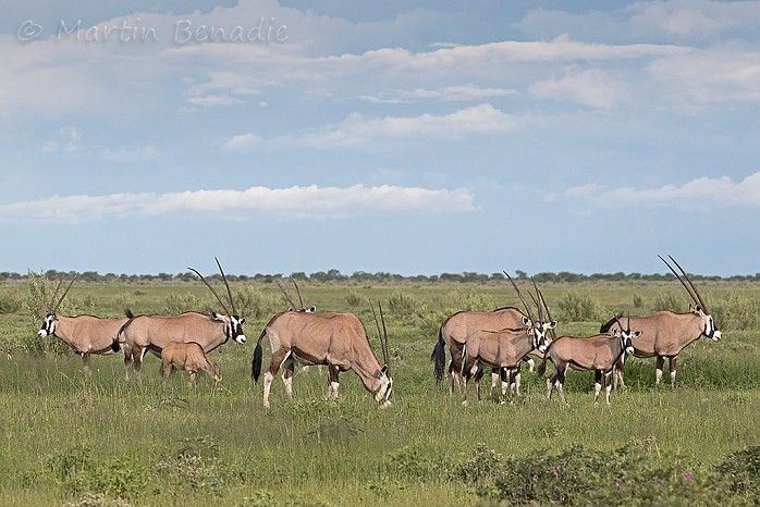 Oryx in abundance #EtoshaNP