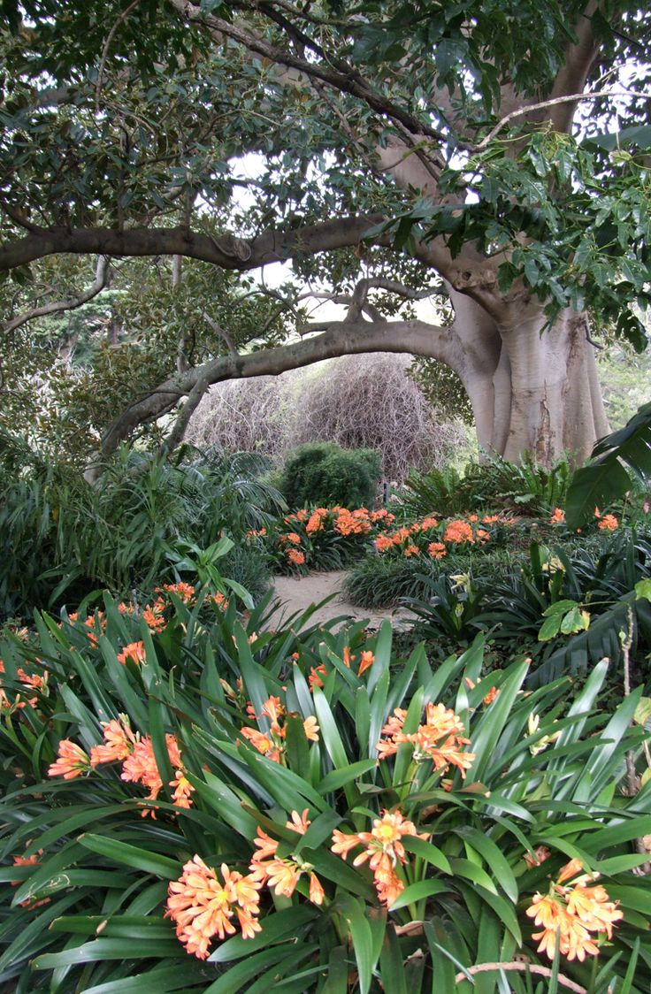 This underplanting of Clivia miniata is just wonderful.  Photographed in 2009 at…