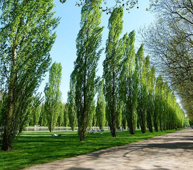 "Populus nigra - Lombardy Poplar, fast-growing trees, growing as much as 6 feet per year. This makes them a popular choice when people want ""living wall"" privacy screens or windbreaks in a hurry"