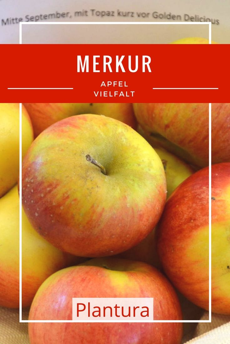 Das Fruchtfleisch dieser Äpfel ist besonders knackig und wird auch Sie mit seinem vollaromatischen, süßen Geschmack überzeugen.