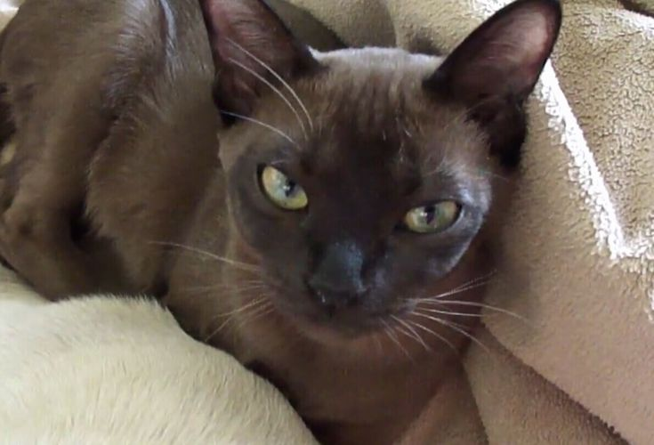 Luna natural solid Tonkinese Tonkinese, Cats, Animals