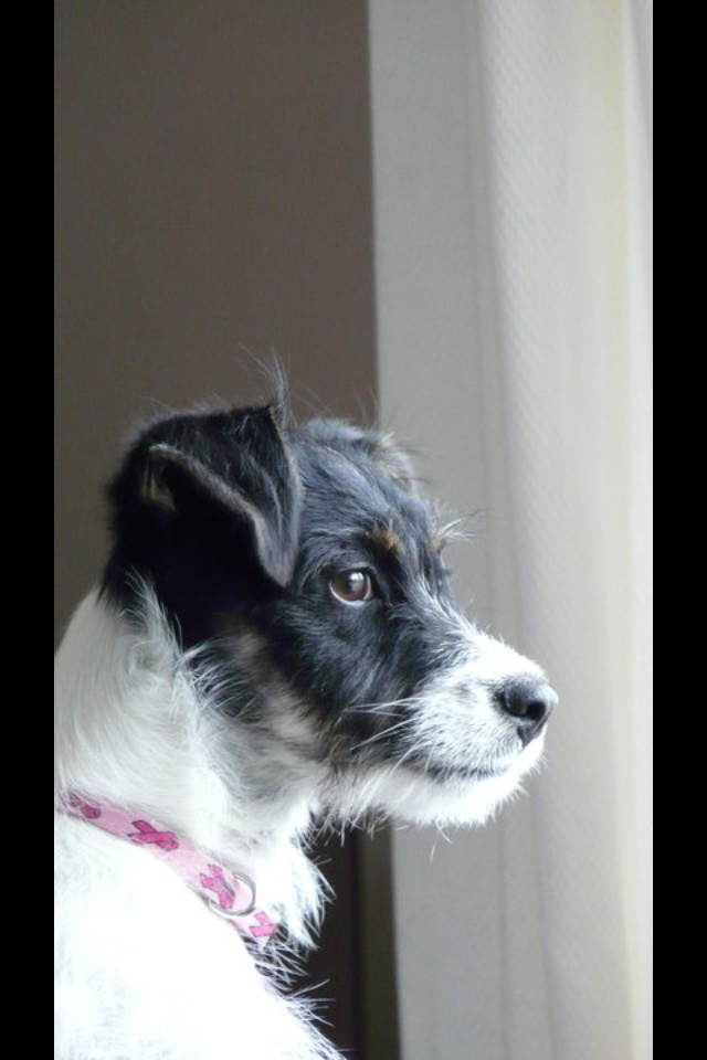 My Jack Russell, Bella! <3
