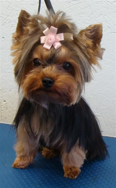 yorkie hair cut styles pin haircut yorkie on friend 8517