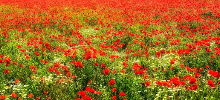 A million poppies - http://facebook.com/photonikko