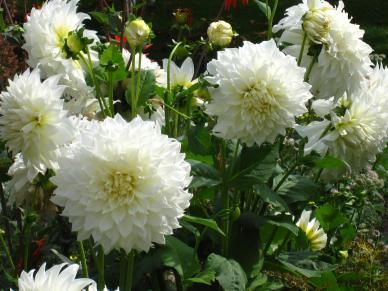 Dhalia, the perfect cut flower