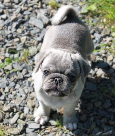 Cute Silver Pug Puppy. I think I need one of these! More