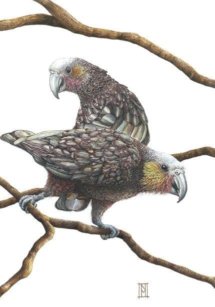 Kaka birds