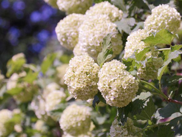 Heilpflanze: Gewöhnlicher Schneeball (Viburnum Opulus)  Für ganz entspannte Tage  Das Moschuskrautgewächs ist eine strauchige Pflanze mit ballartiger, weißer Blütenpracht. Der Schneeball-Vergleich passt also. Ihre Heilkraft steckt vor allem in ihren roten Steinfrüchten.