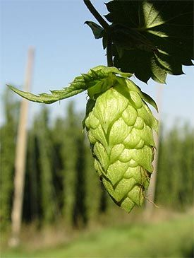 You can't brew beer without hops. And many homebrewers are now opting to grow their own. Here's how you can grow your own hops at home.