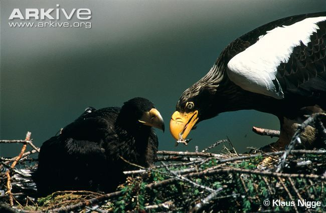 Steller's sea eagle at nest feeding chick.... Steller's sea eagle is one of the largest of the sea and fish eagles of the genus Haliaeetus. These large blackish-brown birds have an enormous, strongly arched yellow bill