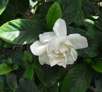 Jubilation Gardenia  For landscaping along front of house