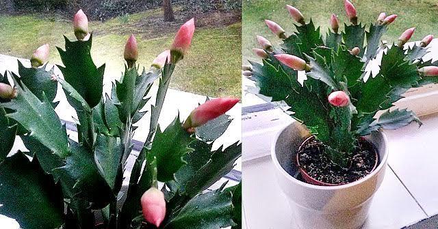 Nem hiszed el! Március közepén virágzik a karácsonyi kaktuszom! Megmutatom, hogy csináltam
