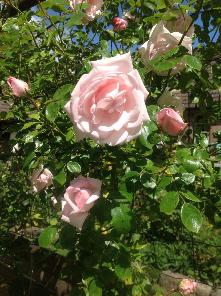 Like in my grandmothers garden,               New Dawn