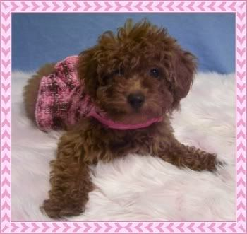 Brown maltipoo puppies