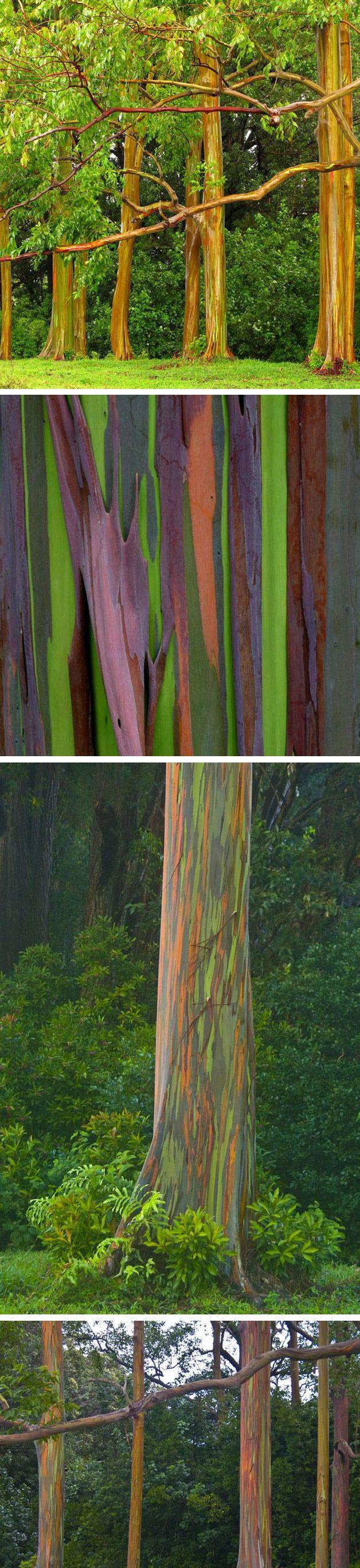 A natureza é sensacional. Uma prova disso é oeucalipto arco-íris(Eucalyptus deglupta)que acada ano que passa, troca sua casca deixando a mostra partes internas coloridas.