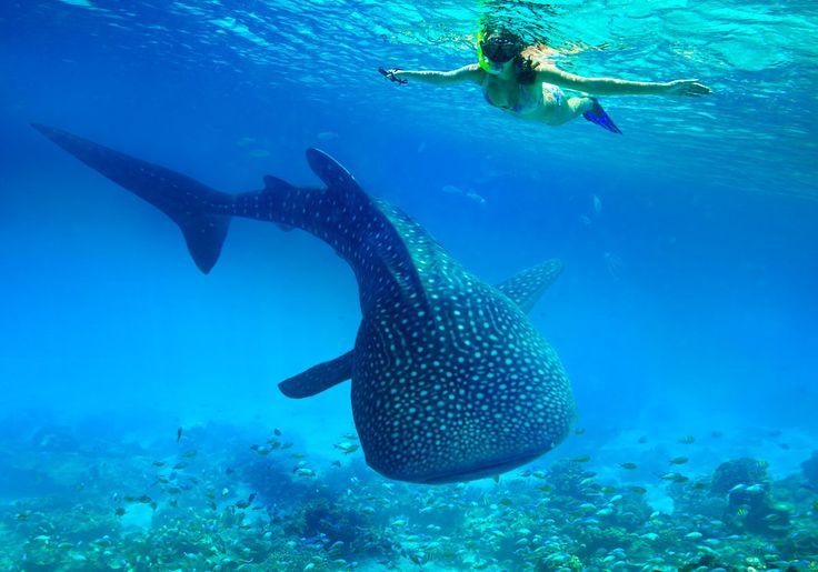 I Filippinerne kan du være rigtig heldig at støde på hvalhajer, når du er ude at snorkle eller dykke. Bl.a. i Dumaguete.