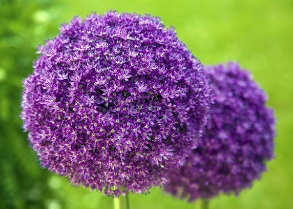 Garden Nerdy List Of Flowers With Their Meaning Allium Giganteum Flower Names Giganteum