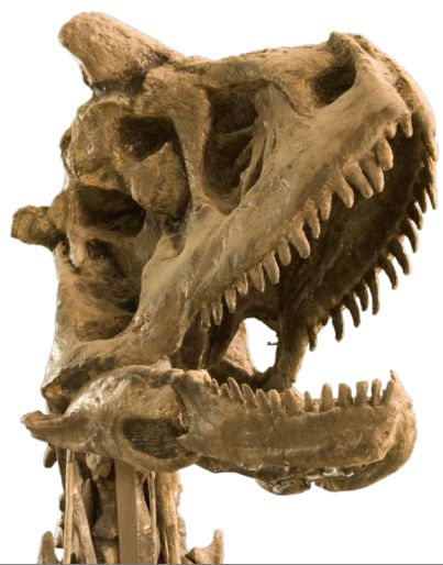 Carnotaurus is a genus of large theropod dinosaur that lived in South America during the Late Cretaceous period, between about 72 and 69.9 million years ago. The only species is Carnotaurus sastrei.