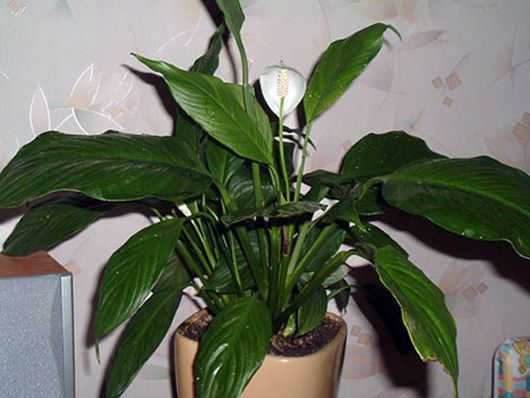 15 houseplants for improving indoor air quality - Flowering House Plants Identification