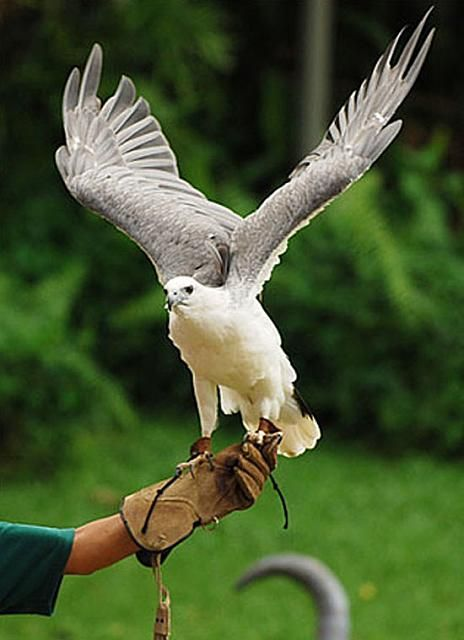 See the white eagle before they are extinct: God S Creatures, White Animals, Albino Creatures, Favorite Places, Eagle, Animal Spirit, Amazing Animals, Animal Inspo, Birds