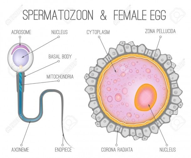 Human Egg Cell Diagram Labeled In 2020 Cell Diagram Egg Cell Diagram Diagram
