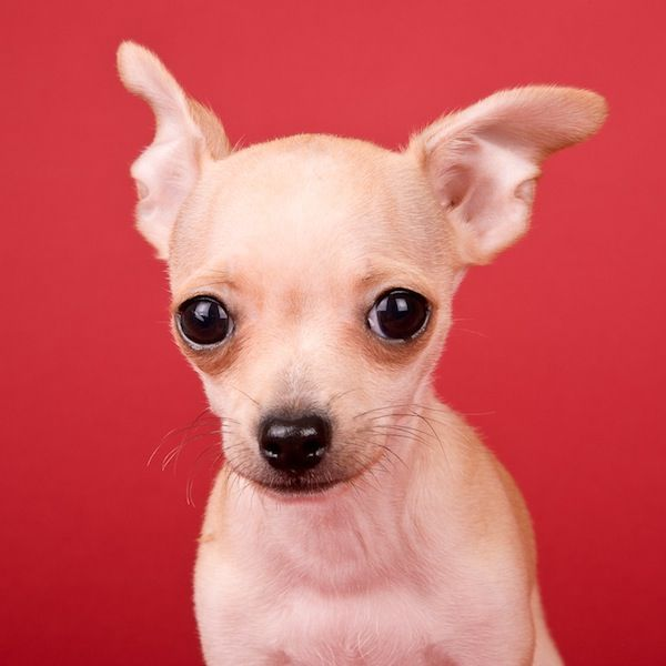 Chihuahua. Sweet Portraits of Puppies by Michael Kloth.