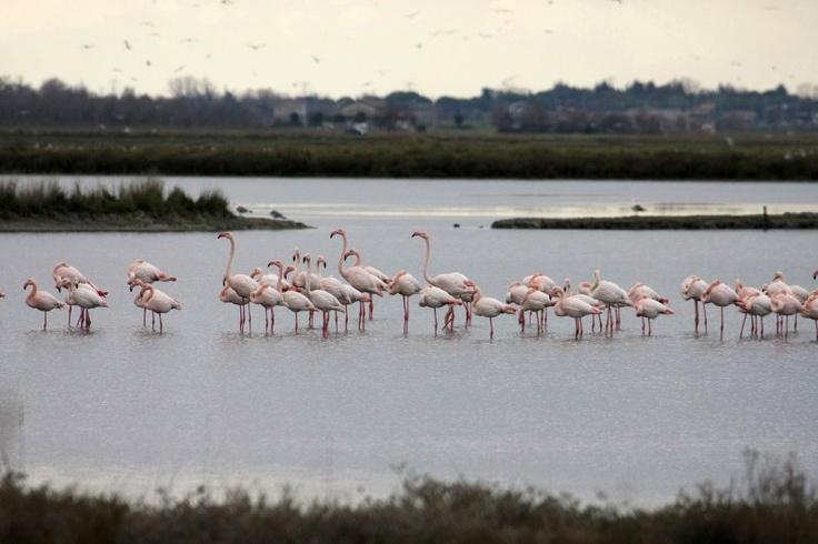 Fenicotteri rosa alla Saline di Cervia