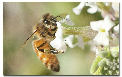 Killer Bees - Africanized Honey Bees-not welcome on my property