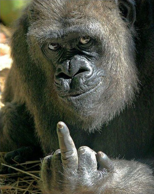 Gorilla Shows Middle Finger To Zoo Visitors Trying To Take His Picture
