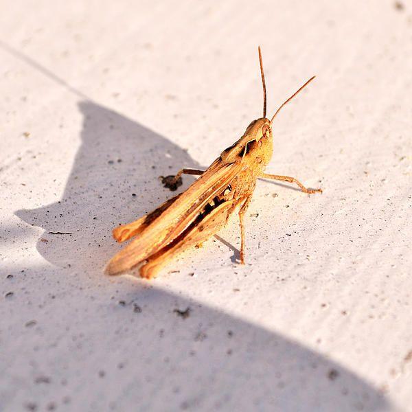 Smal brown grasshopper from Denmark #grasshopper #denmark
