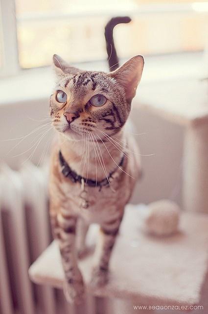 philailleurs: Gatos Bengals / / Chats Bengals / gato de Bengala en nosotros lo Heart - http://weheartit.com/entry/47409133/via/philailleurs