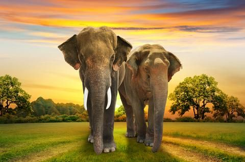 Elephants are truly marvelous creatures. As the largest land animals on the planet they surely are hard to miss. The African variant grows up to 13 feet from sh