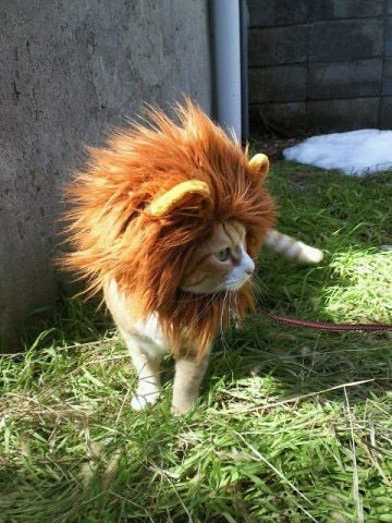 Lion costume for a kitty cat :)
