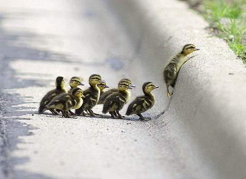 Cute Ducklings!!