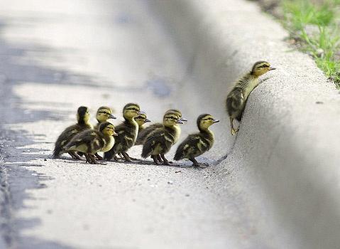 """Stage commando... ou """" aux âmes bien nées, la valeur n'attend pas le nombre des années..."""" / Ducklings. / Canetons."""