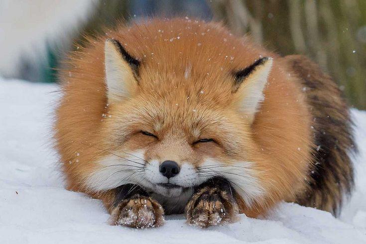 everythingfox: Extra Fluff Photo von Shimapan – Animals