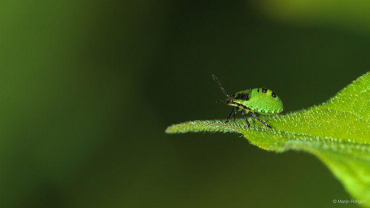 Green Shield Bug nymph on leaf (Palomena prasina)