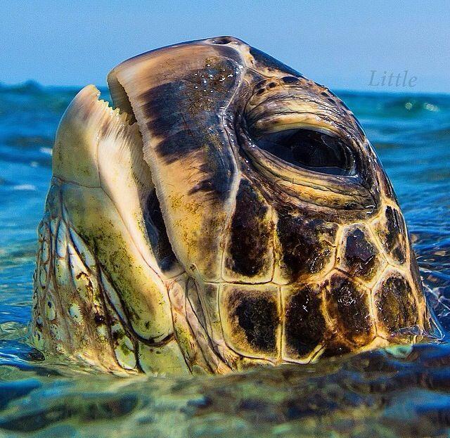 Sea turtle, sea life, animals, ocean, ocean life, aquatic animals, fish, fishes, marine biology, water, under water life #sealife #marine