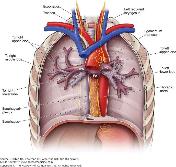 Dissection: Superior & Posterior Mediastinum - Anatomy Guy |Superior Mediastinum Dissection