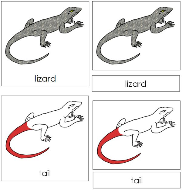 Lizard Nomenclature Cards Red Lizard Cards Tortoise Food