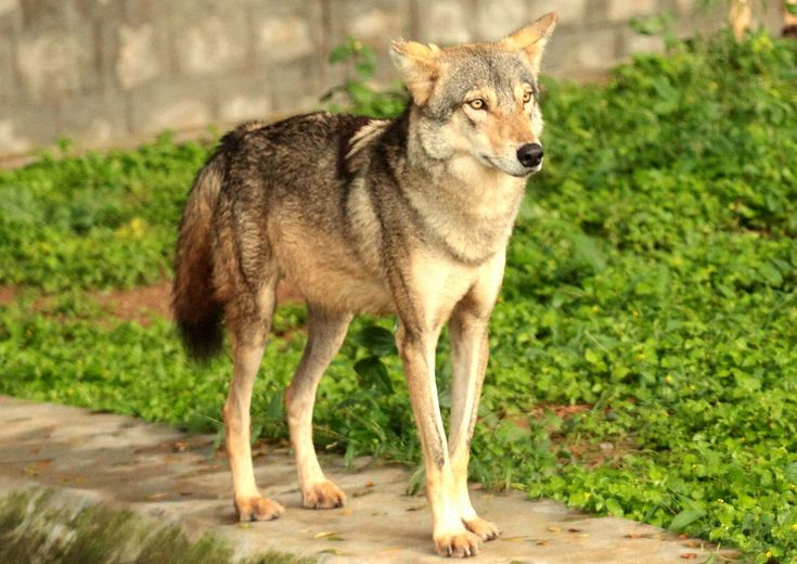 Indian Wolf In Mysore Zoo