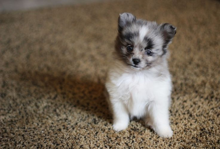 Meet Samson, an Australian Shepherd-Pomeranian mix. I just can't handle it.